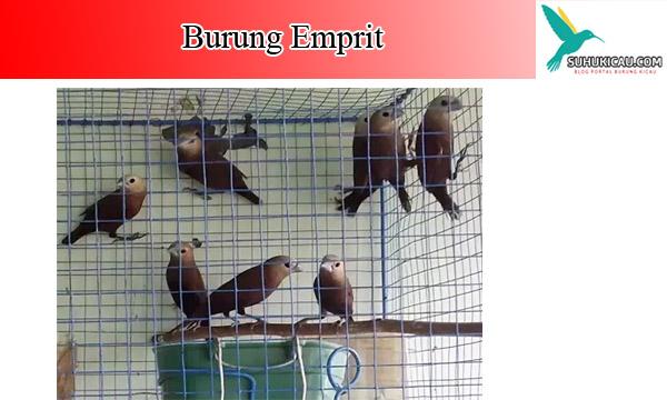 burung-emprit