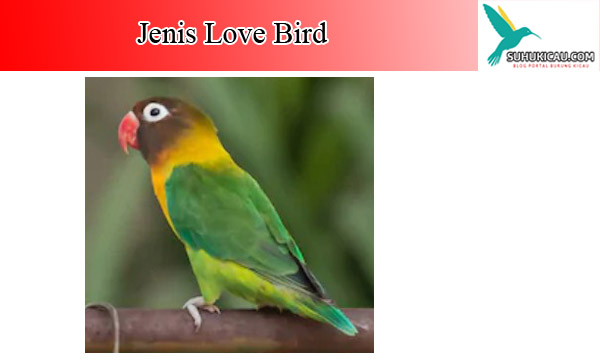 burung-love-bird