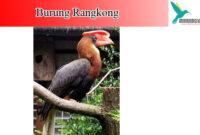 burung-rangkong