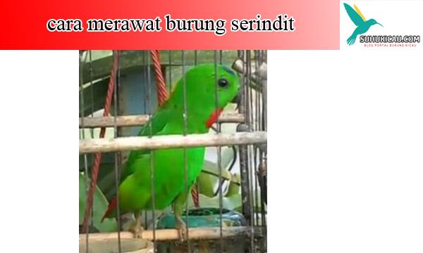 cara-merawat-burung-serindit