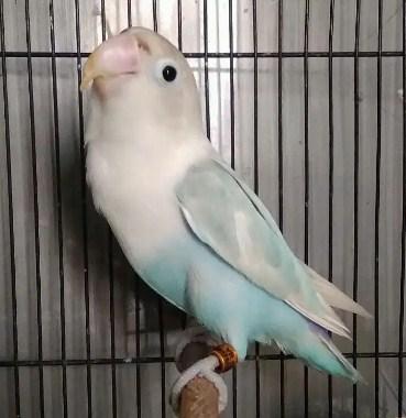gambar-burung-pasbir