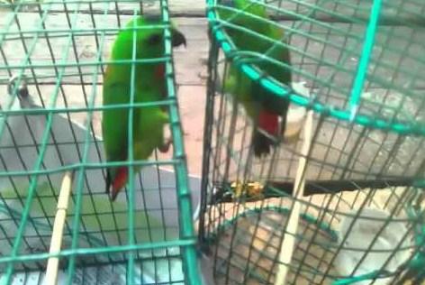 gambar-burung-serindit