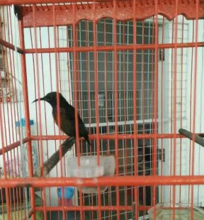 gambar-kolibri-ninja