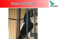 kacer-dada-hitam
