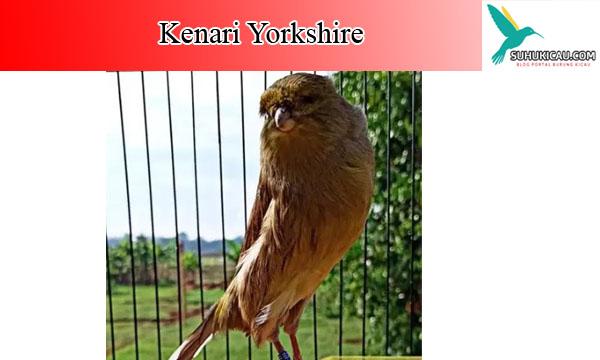 kenari-yorkshire