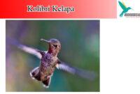 korlap-kolibri-kelapa