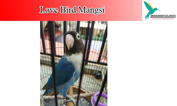 lovebird-mangsi