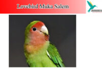 lovebird-muka-salem