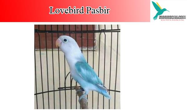 lovebird-pasbir