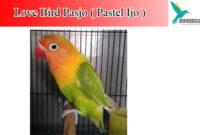lovebird-pasjo