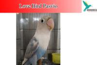 lovebird-pasvio