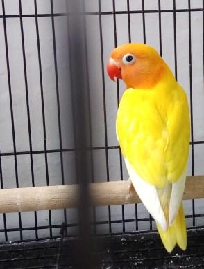 pastel-kuning