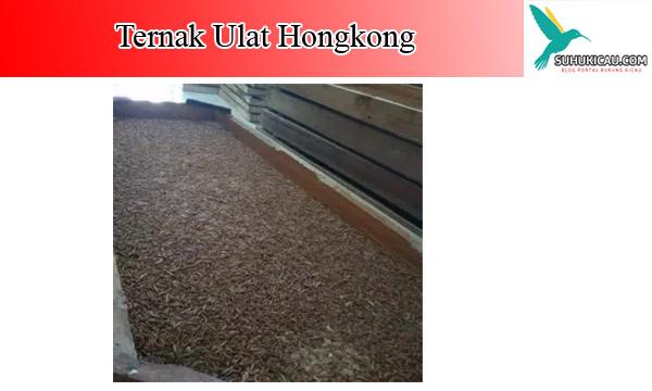 ternak-ulat-hongkong