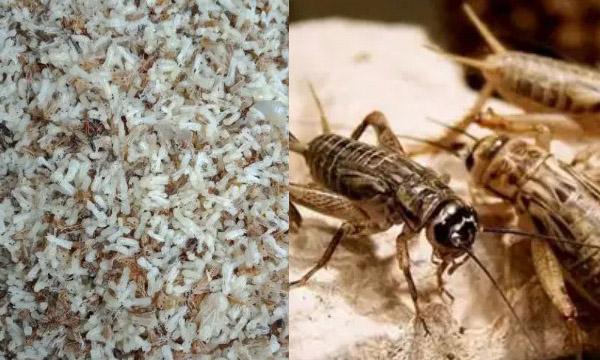 EF-serangga