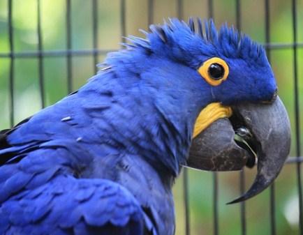 Macaw-Hyacinth