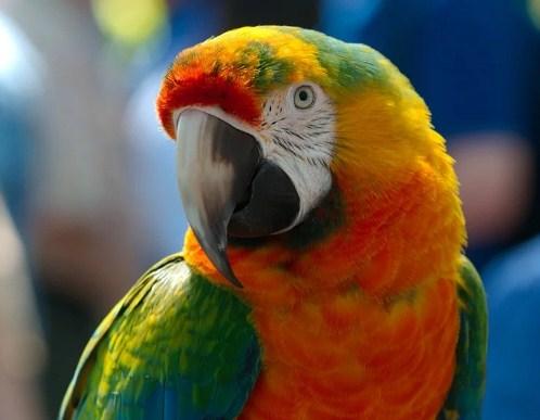 Macaw-Hybrid