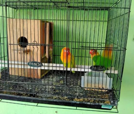 budidaya-lovebird