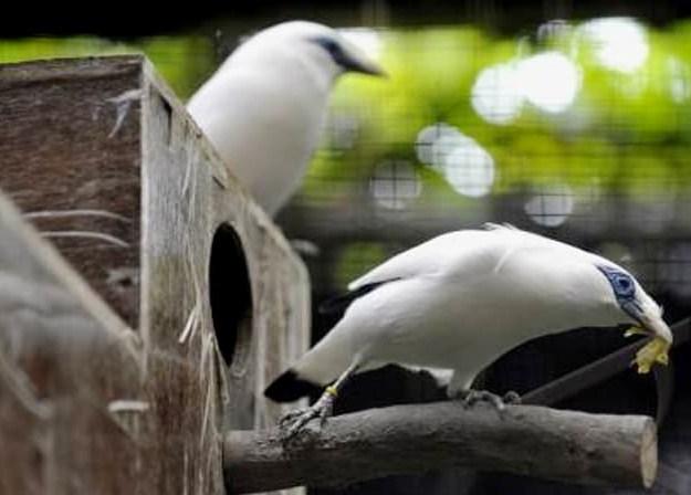 budidaya-ternak-burung-jalak-bali