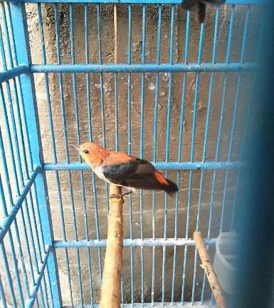 burung-cabe-cabean
