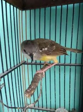 burung-ciblek