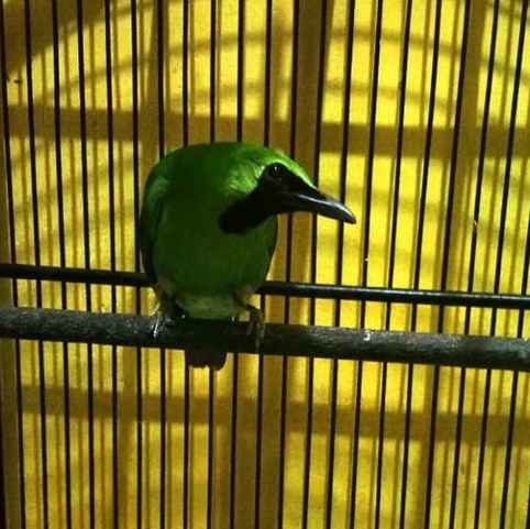 burung-cucak-ijo-gacor