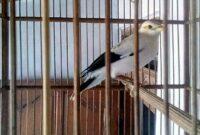 burung-jalak-pito