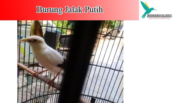 burung-jalak-putih