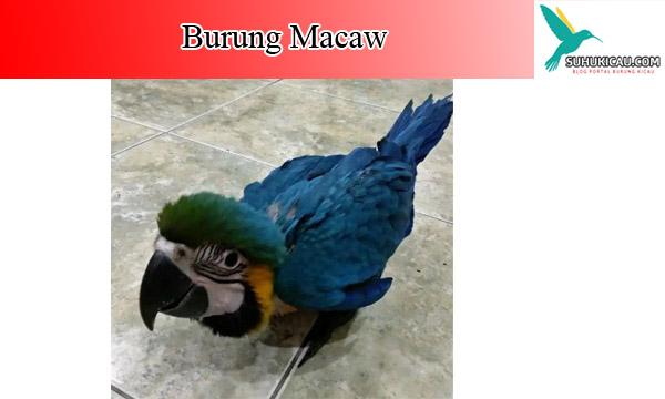 burung-macaw
