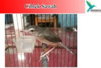 ciblek-sawah