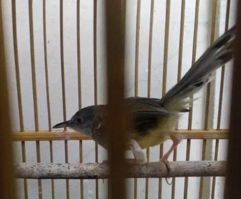gambar-burung-ciblek