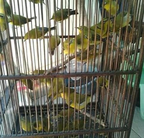 jenis-burung-pleci