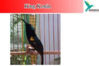 king-konin