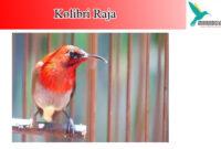 kolibri-raja