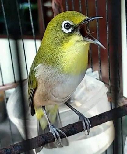 Cara Memilih Burung Pleci Yang Berkualitas Bagus