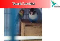 ternak-lovebird