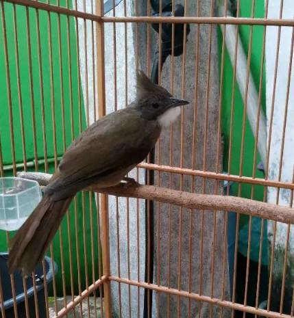burung-cucak-jenggot-sumatra