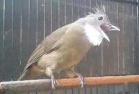 cucak-jenggot-sumatra