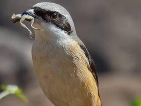 habitat-burung-pentet