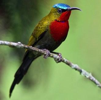 kolibri-merak