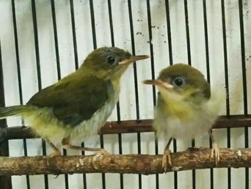 sepasang-burung-prenjak-lumut