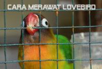 cara-merawat-lovebird