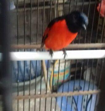 gambar-burung-mantenan