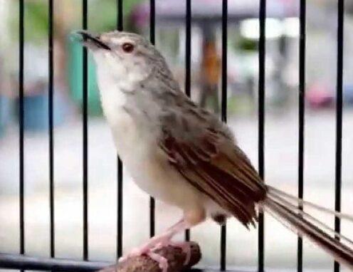gambar-burung-prenjak-putih