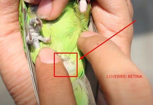 jenis-lovebird-betina