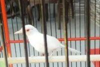 murai-batu-albino
