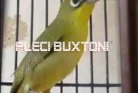 pleci-buxtoni