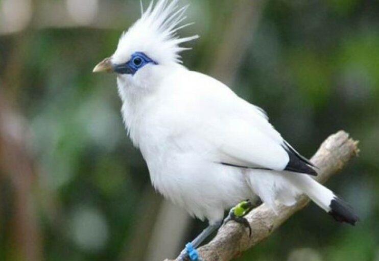 burung-jalak-bali-gacor