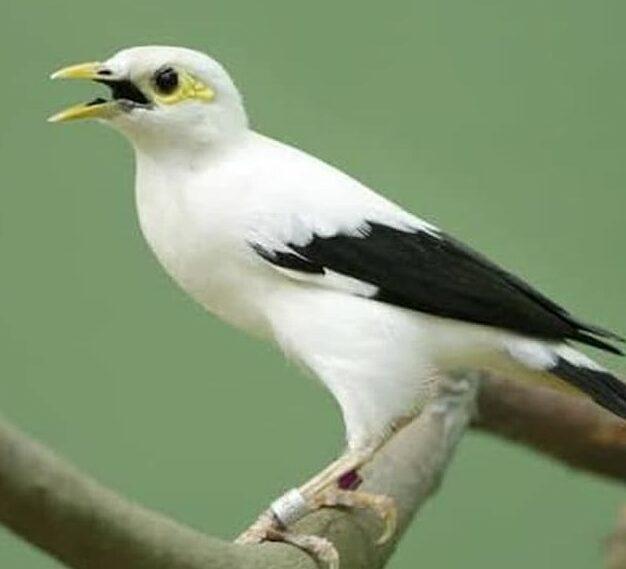 burung-jalak-hongkong-gacor