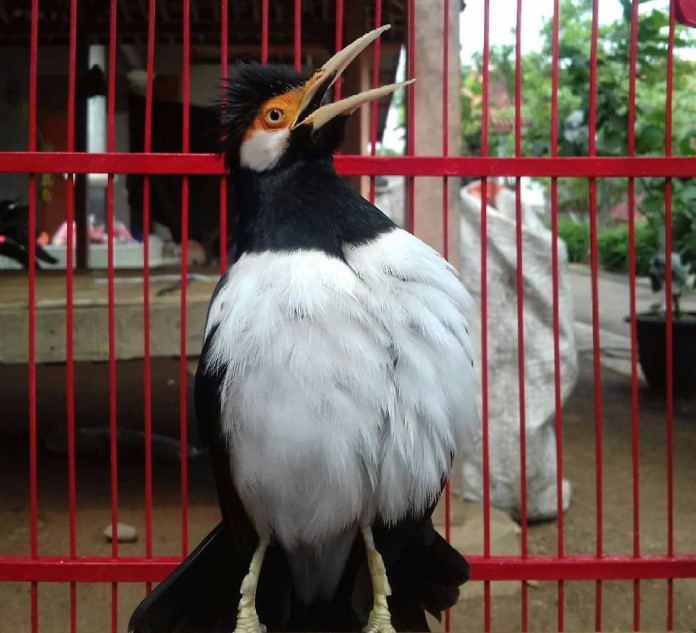 burung-jalak-suren-gacor