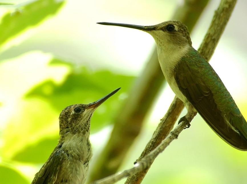 gambar-burung-kolibri